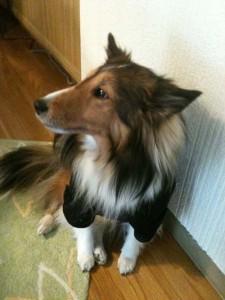 誕生日プレゼントの犬用Pコート