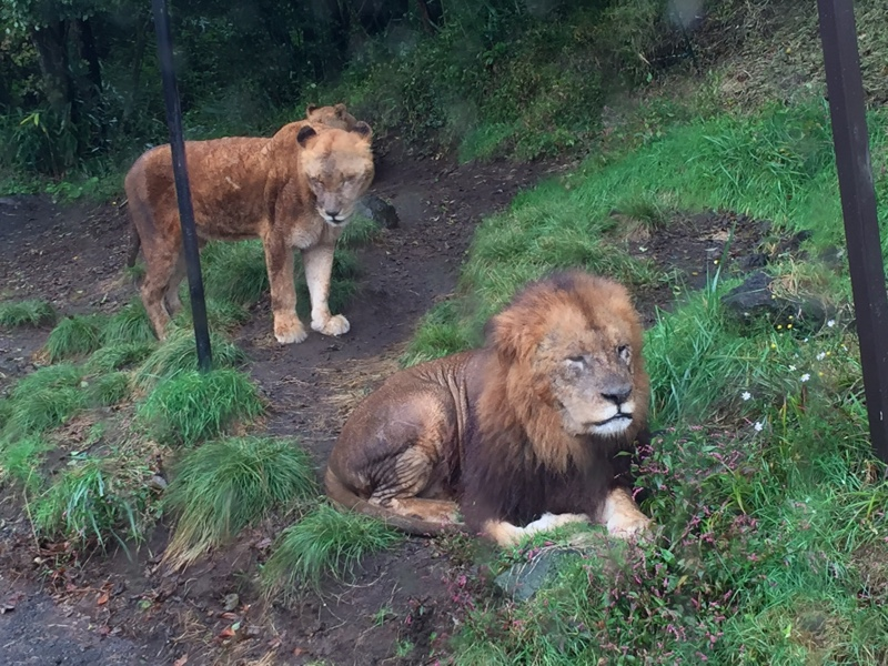 百獣の王ライオン!