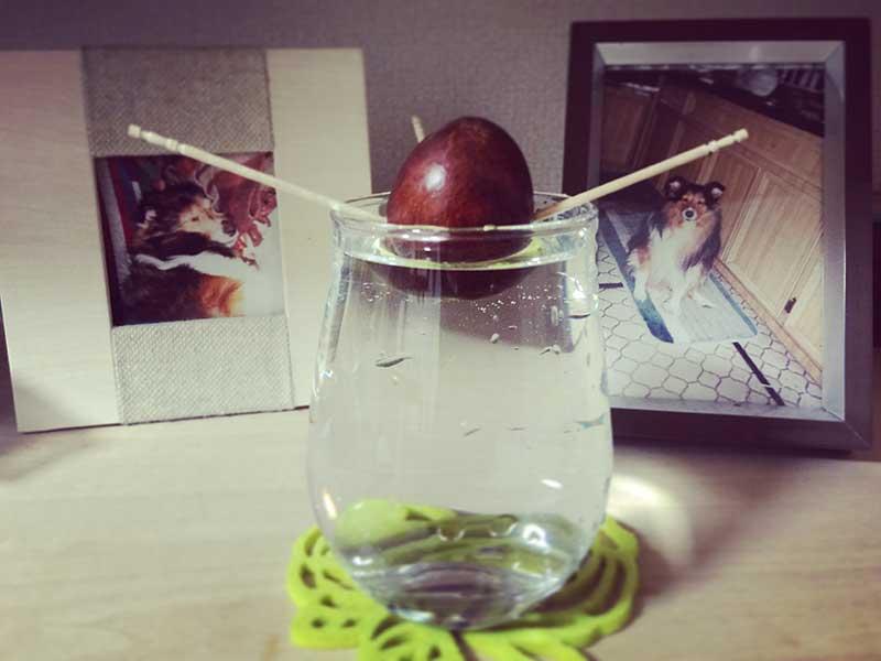アボカド水栽培カップは棚に飾ればインテリアに