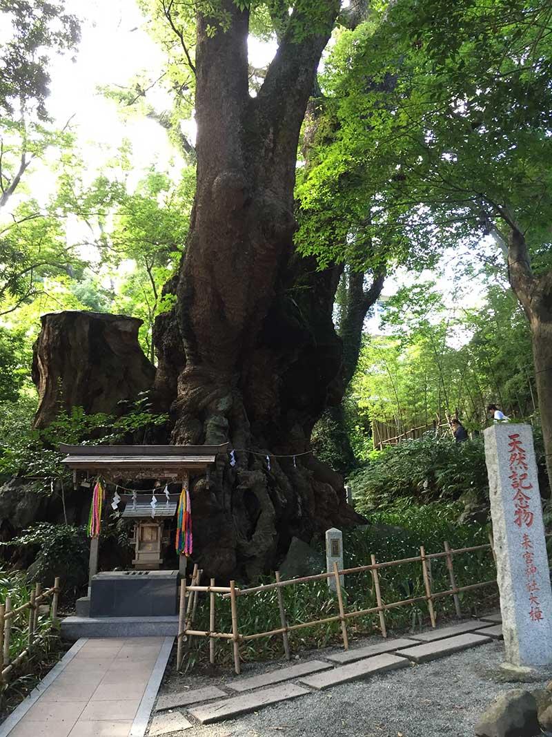 樹齢なんと二千年の御神木「大楠」