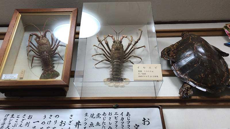 江ノ島で獲れた大きな伊勢海老