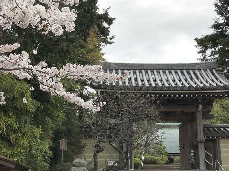 浄妙寺山門にかかる桜