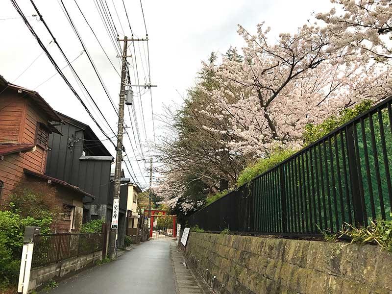 八幡近くの小学校の桜
