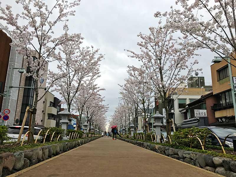 ずらっと桜が続きます