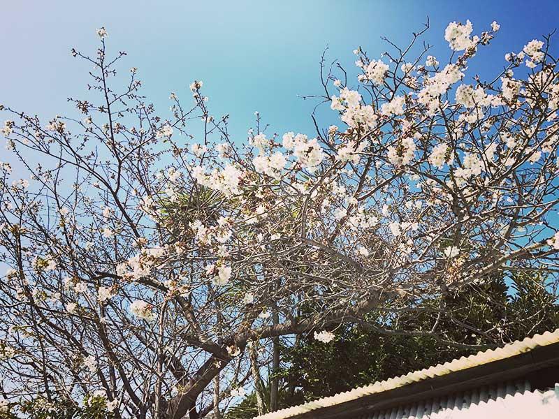 桜の時期はもう終わりかな