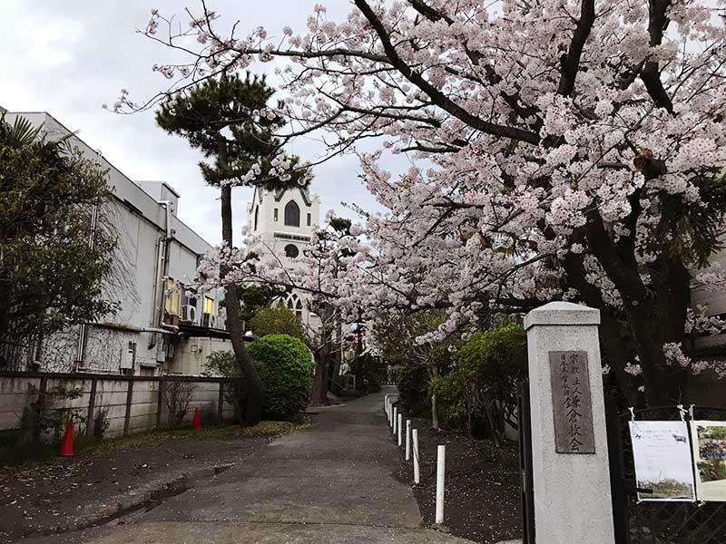 鎌倉協会の桜