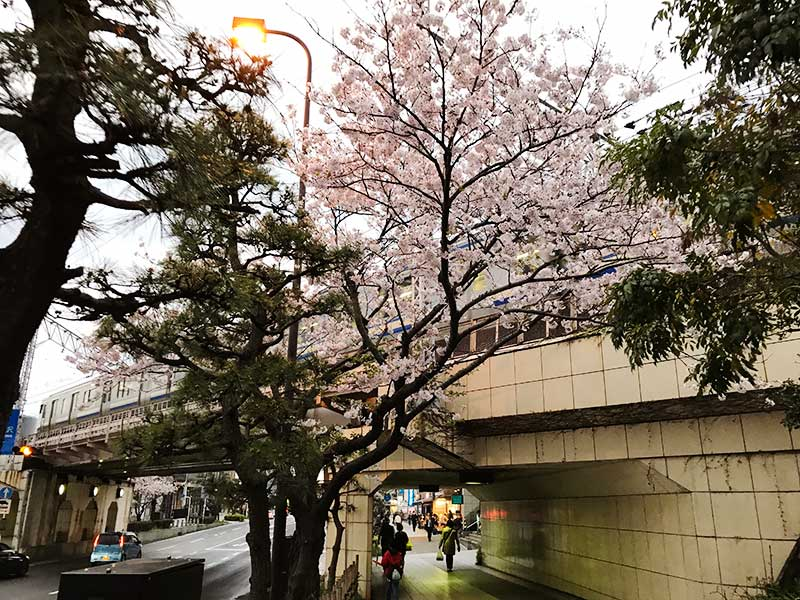 鎌倉駅南側の高架下の桜