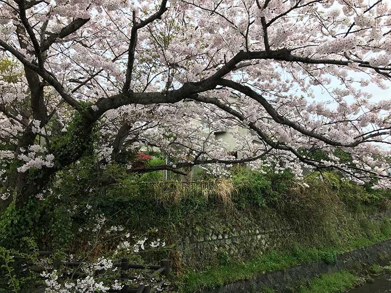 川幅を覆うほどの大きな桜の木