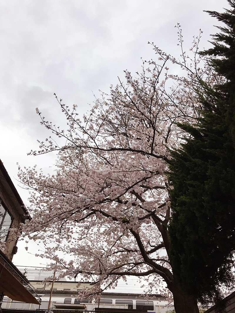 鎌倉駅近の横須賀線の高架下の桜