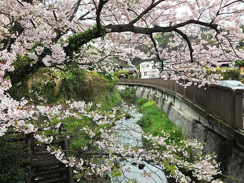 桜の薄いピンク色と緑の川面が素敵と合っています