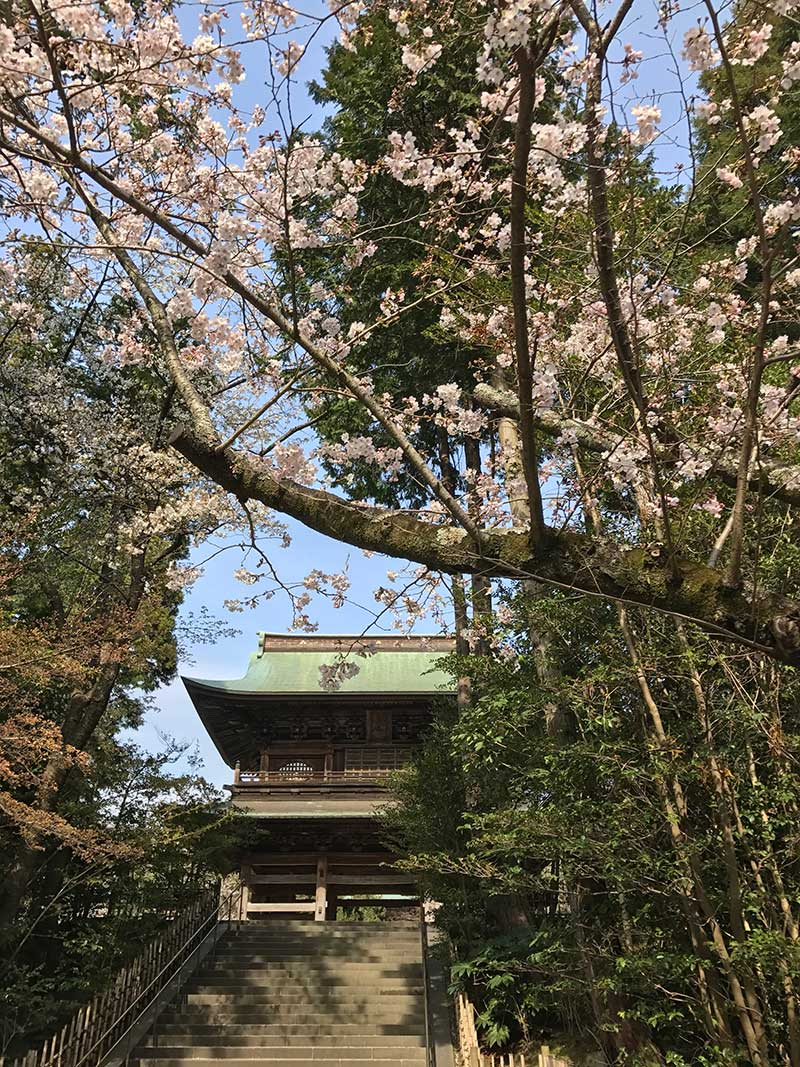 円覚寺の山門前の桜は満開