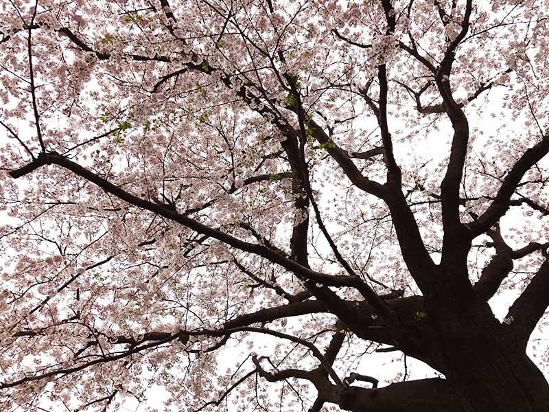 見上げると満開の桜