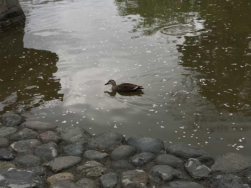 散り桜の中を泳ぐカモ