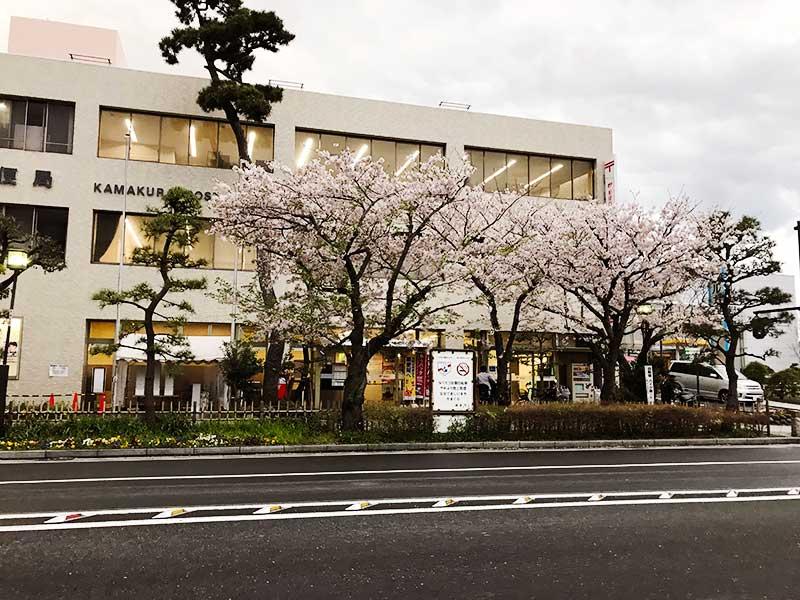 鎌倉郵便局の桜