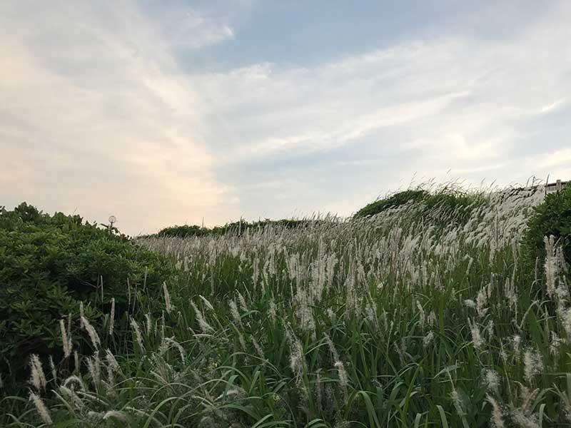 防風林近くのチガヤの穂
