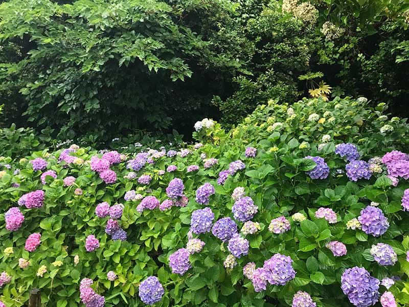 ちょうど見頃の紫陽花