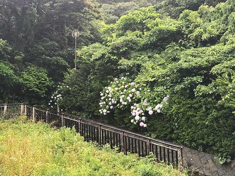 石段の脇に紫陽花を発見!