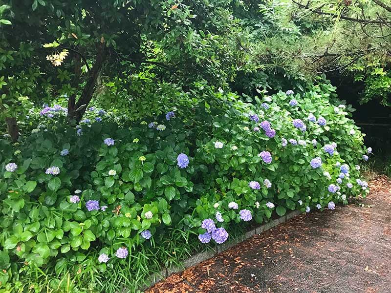奥の方に紫陽花の群を発見!