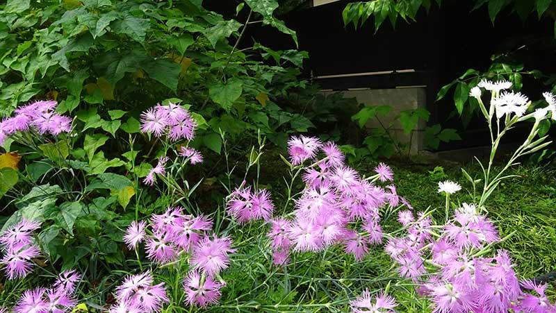 ピンク色の初夏の花