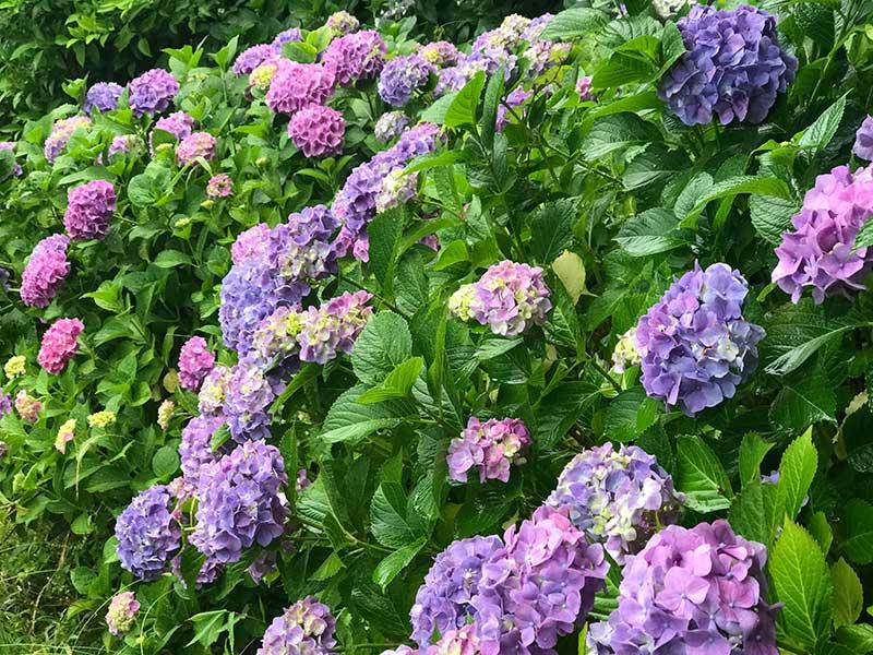 ハッとするような鮮やかな紫陽花も最高!