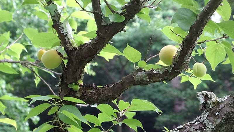 梅の実がいっぱい