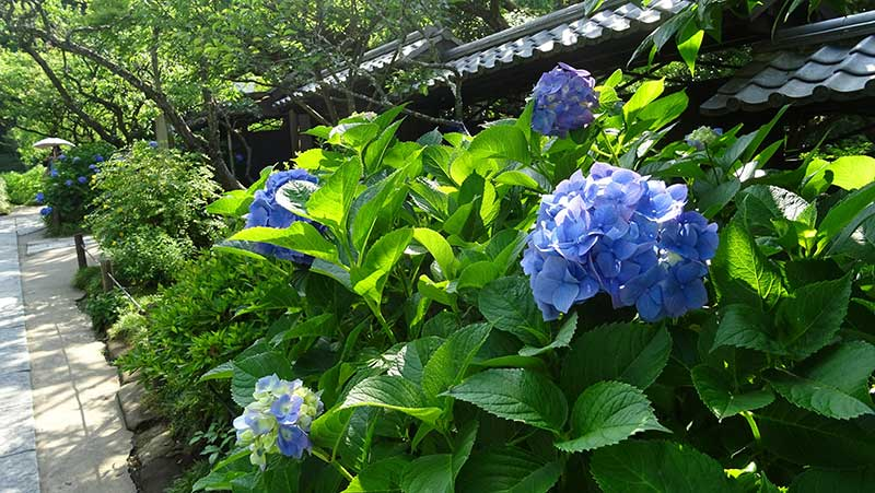 黒い瓦と紫陽花