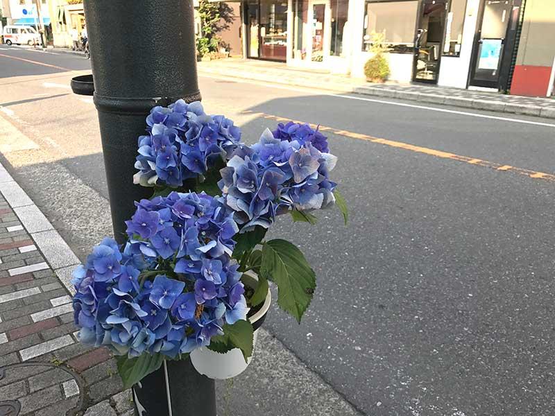 街中にも紫陽花が