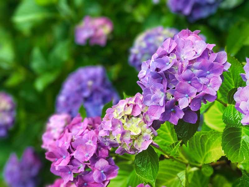 色鮮やかな今日イチの紫陽花!