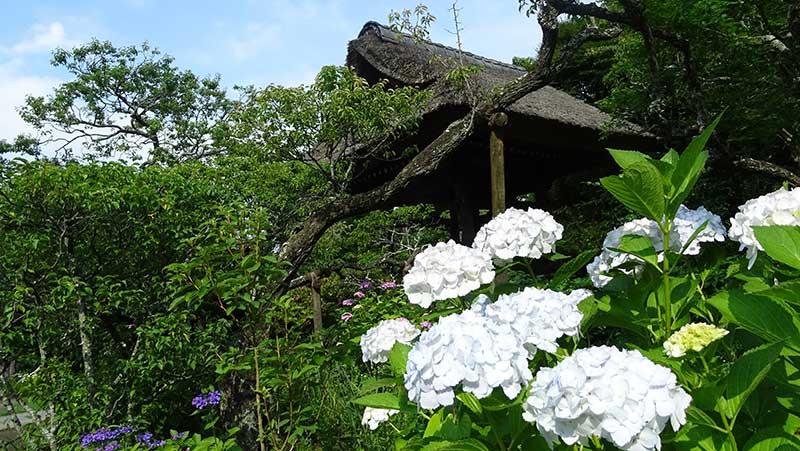 藁葺の屋根と紫陽花