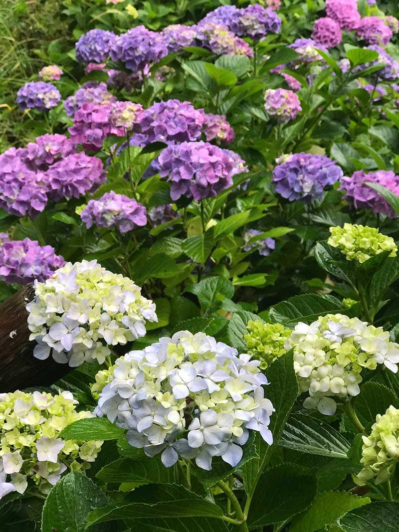 淡い色の紫陽花もいいけれど