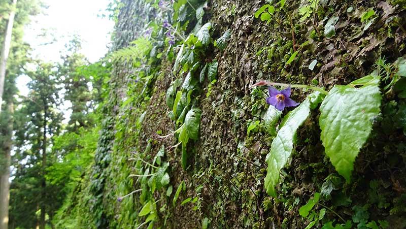 岩肌に咲く小さな紫色の花