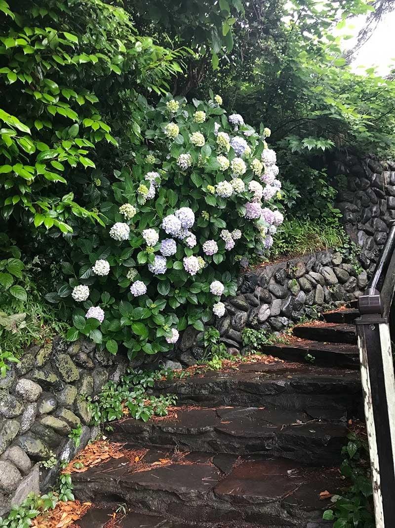 石段と紫陽花の組み合わせもいいですね