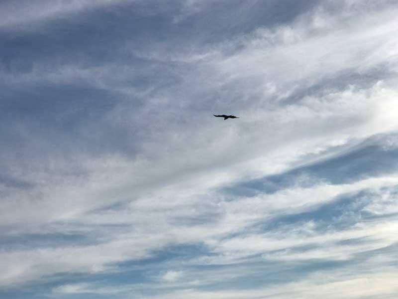 天敵のとびが上空から狙っています