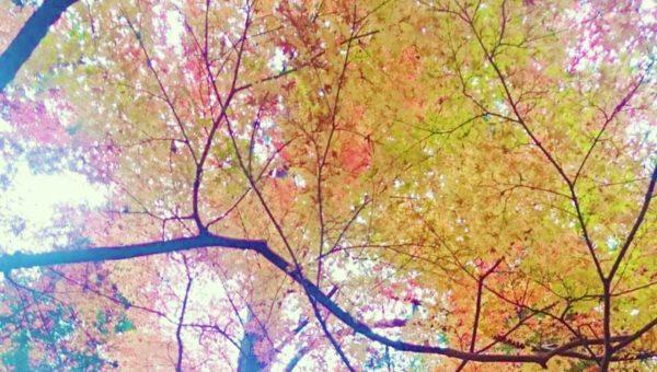 【2017年12月上旬鎌倉紅葉情報:寿福寺・源氏山】まだ間に合う!散り際の今もなかなか綺麗!