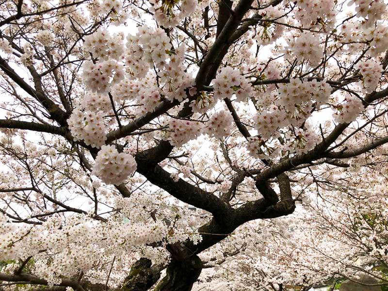 建長寺の桜は満開だ!