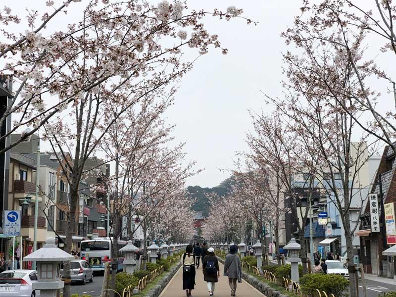 段葛の桜並木は7分咲き未満