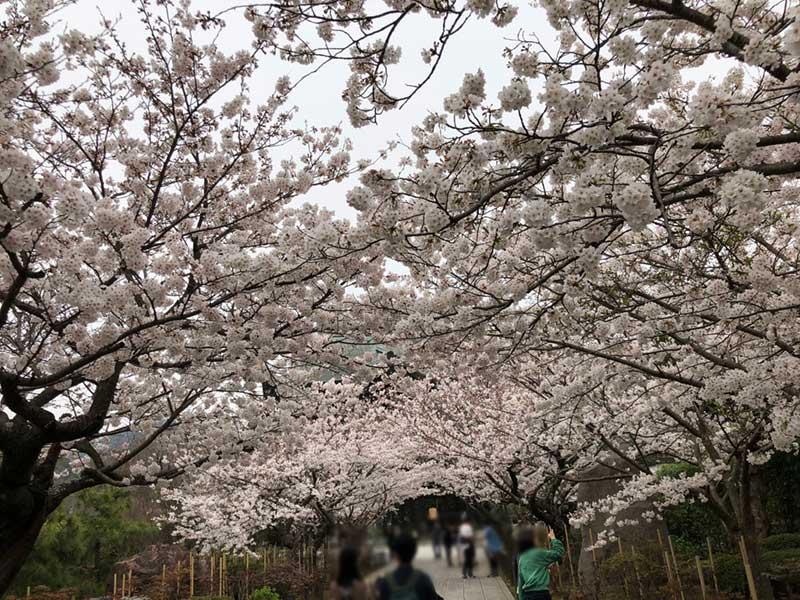 すぐ目の前に広がる桜のアーチ