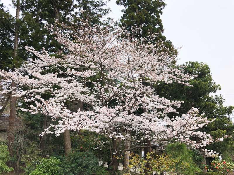 北鎌倉の町中の桜の様子
