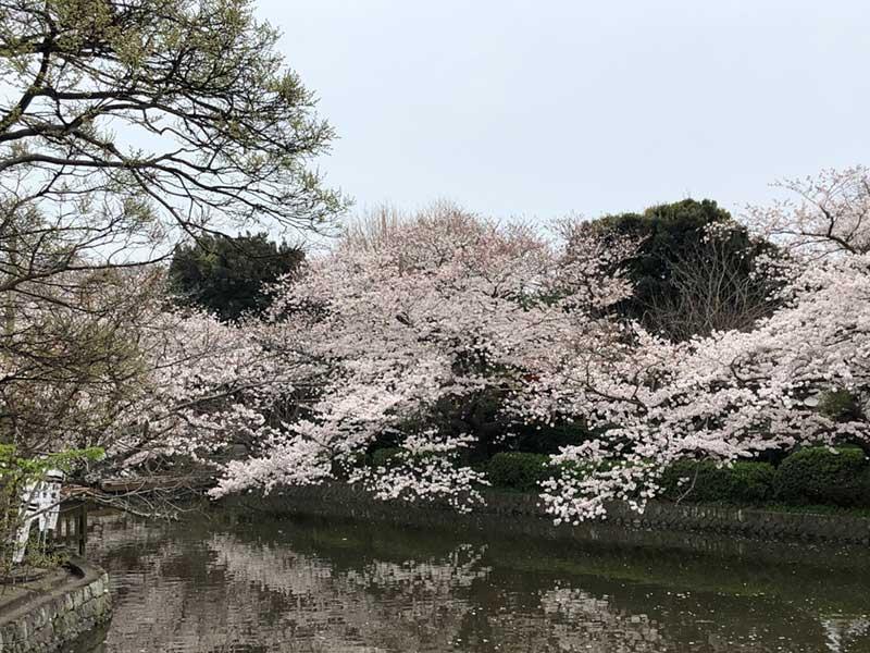 あいにくの天気なので桜も淋しげ