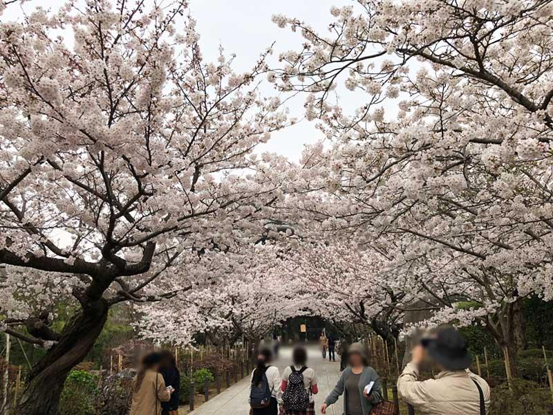 山門をくぐると頭上に満開の桜!