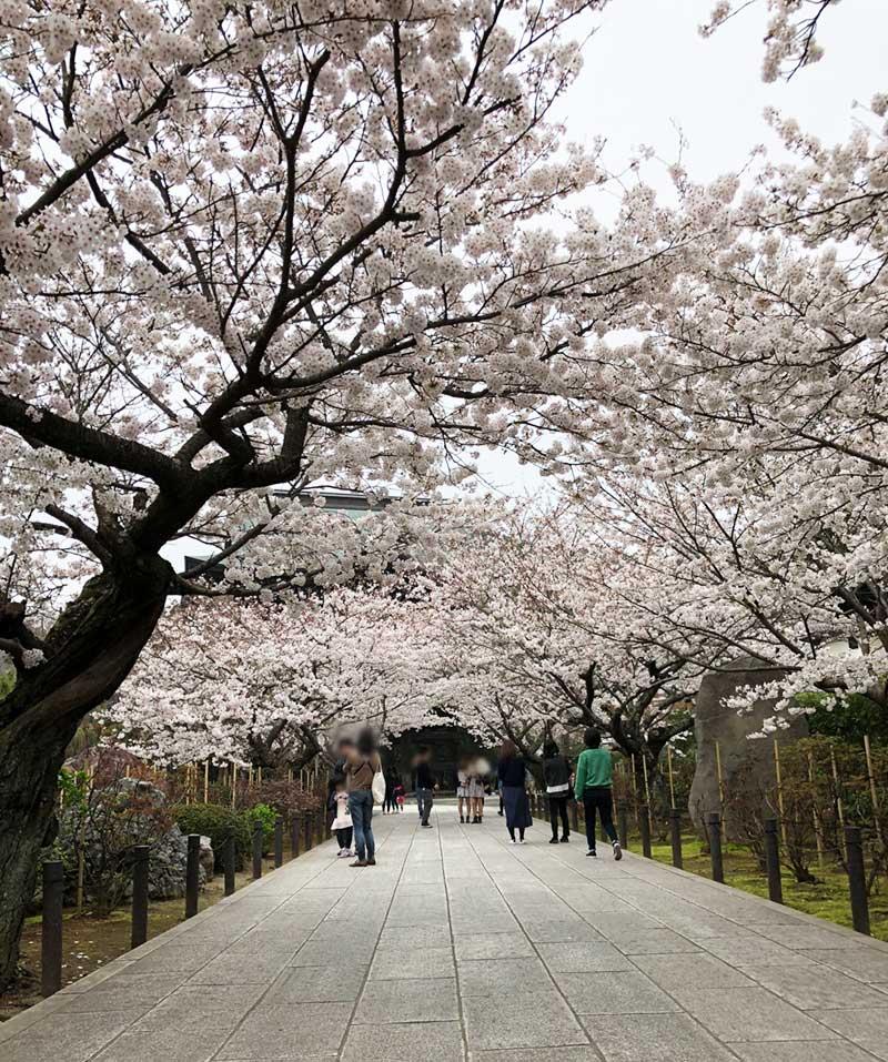 桜道が続きます