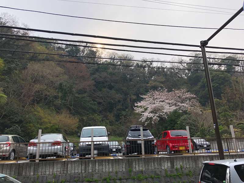 鎌倉方面の山あいの桜