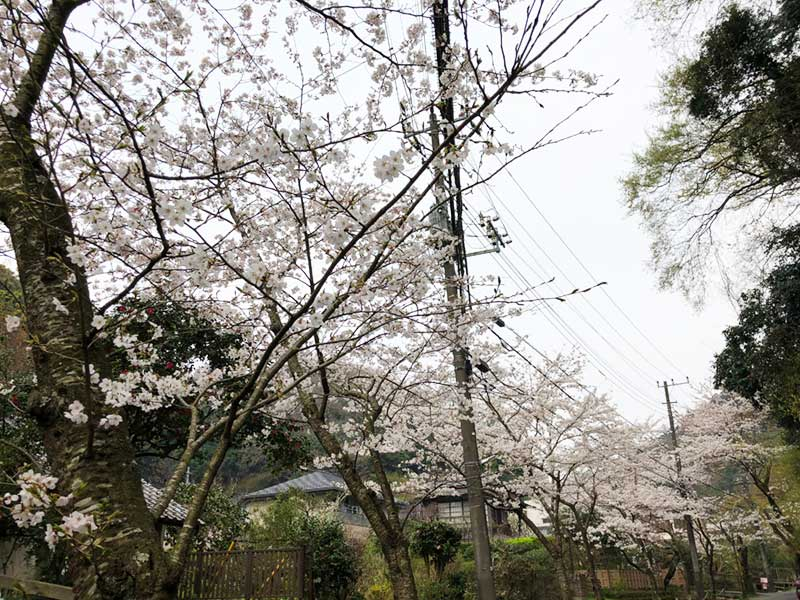 明月院近くの桜