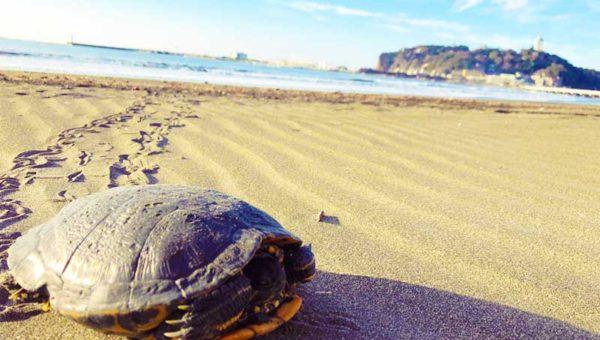 【巨大緑ガメ(アカミミガメ)が江ノ島に出現!】海水でも生きられる?海ガメじゃあるまいし!
