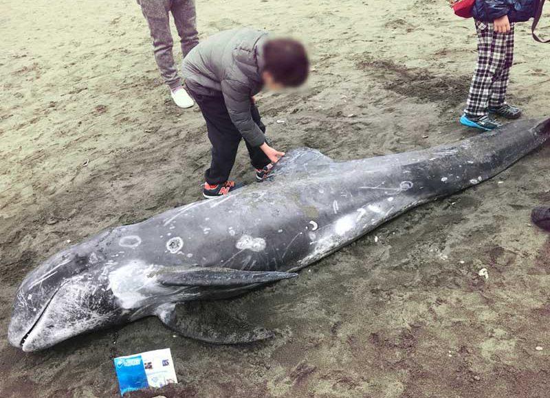【片瀬海岸西浜にゴンドウクジラ漂着】発見したらどうすれば?触らないほうがいいの?どこに連絡するの?