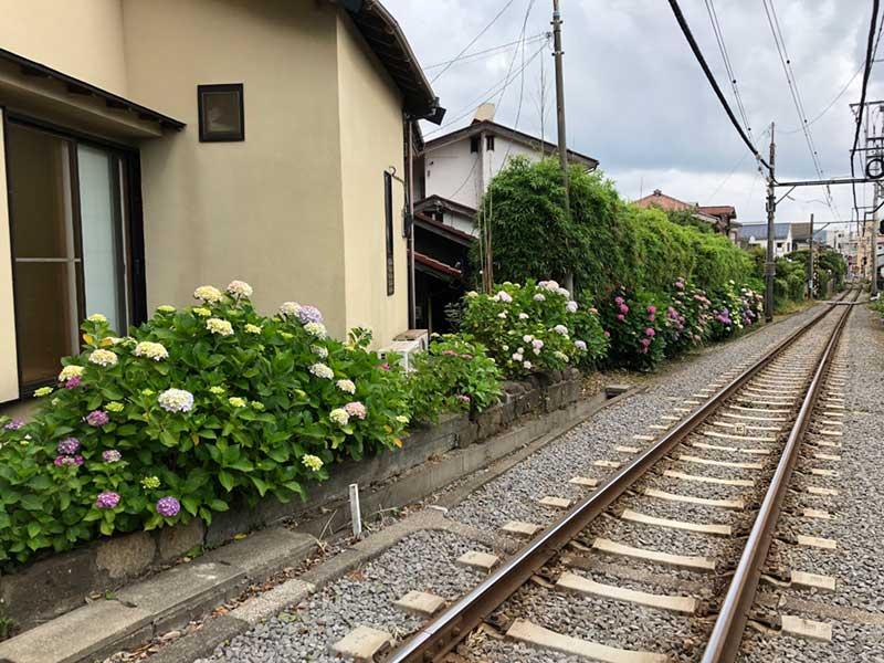 江ノ電線路沿いに咲く紫陽花