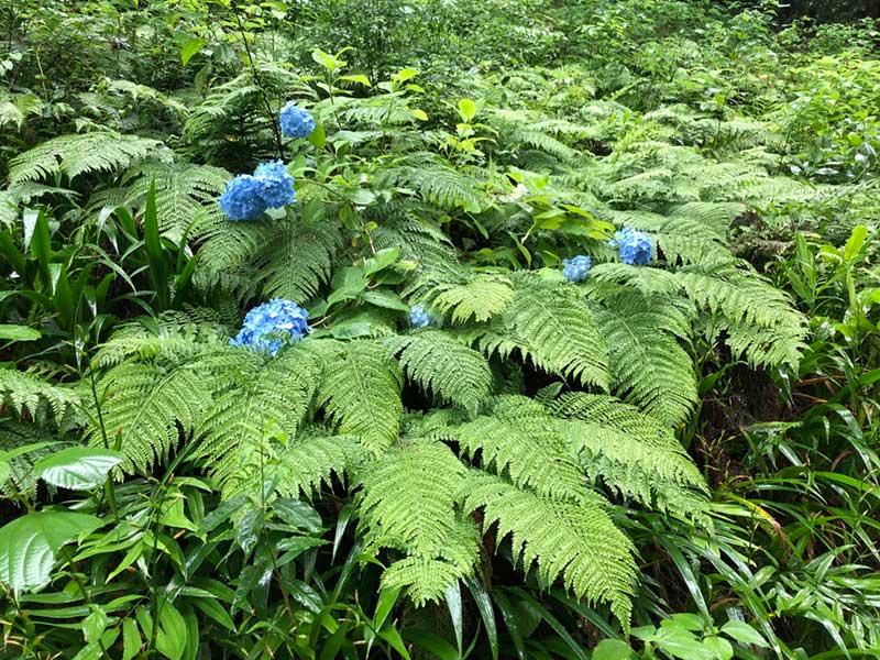 ここでは珍しい濃い青色の紫陽花