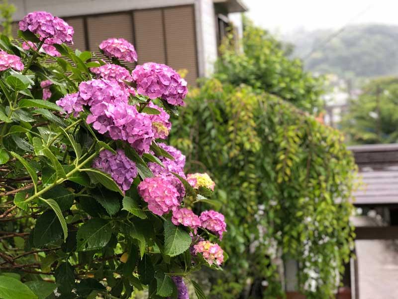 ピンクの紫陽花が壁からひょっこり