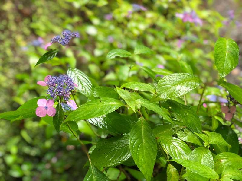 小さな紫色の紫陽花
