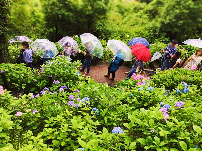 紫陽花がいっぱいある個所はプチ行列が